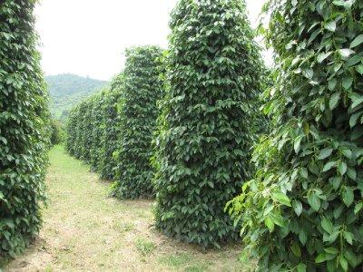 Pepper_Plantation__3_.jpg
