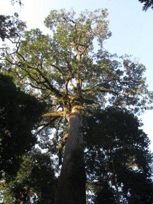 biggest_tree__3_.jpg