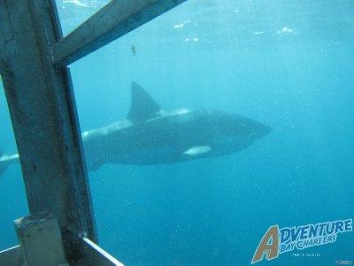 shark_2.jpg