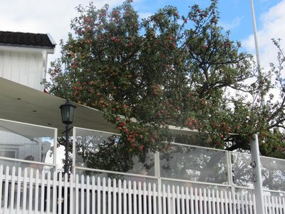 APPLE TREES IN THE MAIN STREET