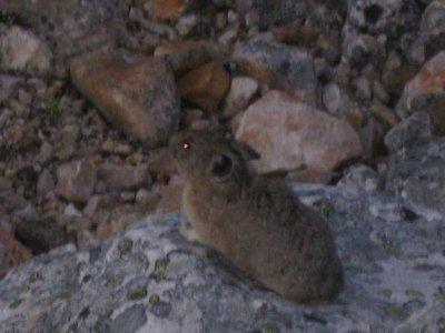 Marmot, I think