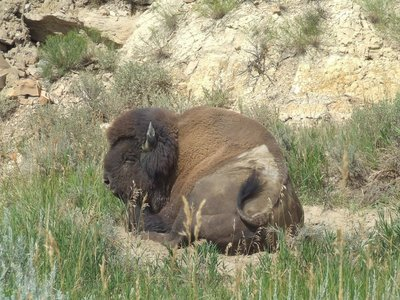 Loungin' Bison