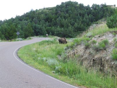 That Bison Nearly Pummelled Our Truck!
