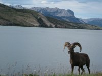 Bighorn Sheep in Jasper