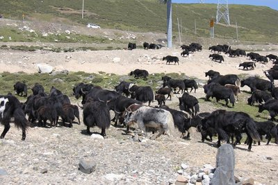 Yak herd in Kangding Grasslands