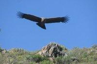 Condor_1.jpg