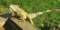 Iguana_Guayaquil_2.jpg