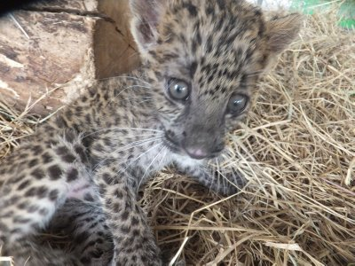 Safari Volunteer - Baby leopard cubs