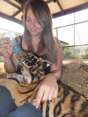 Safari Volunteer- Ned the tiger cub at 3 months 2 weeks old