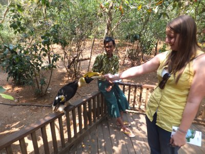 Chelsea feeding a Great Hornbill