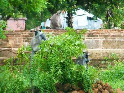 Langurs in Anuradhapura