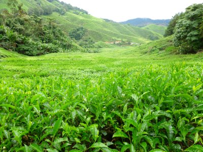 Walking through the Tea Fields