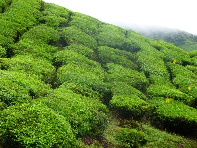 Tea Field in Cameron Highlands
