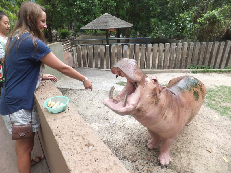 Chelsea Feeding hippo at Chaing Mai Zoo