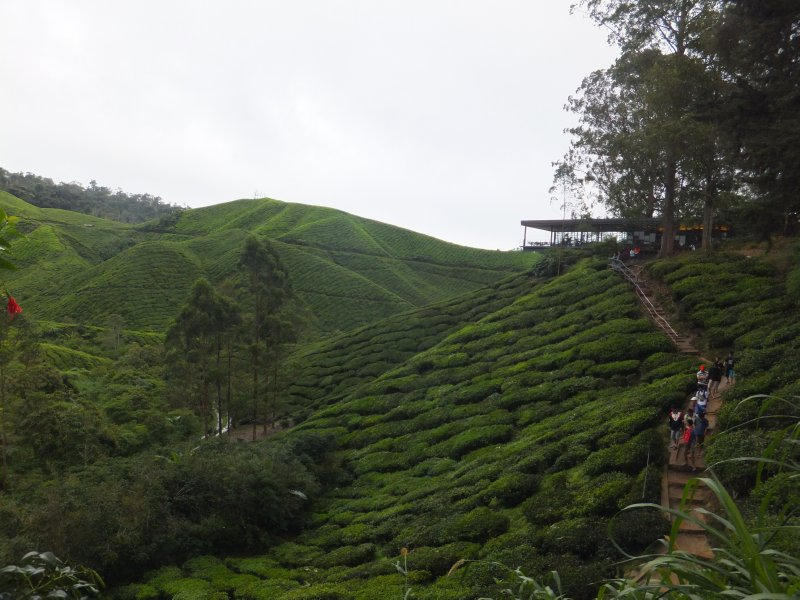 Path leading through Tea Fields upto Tea House