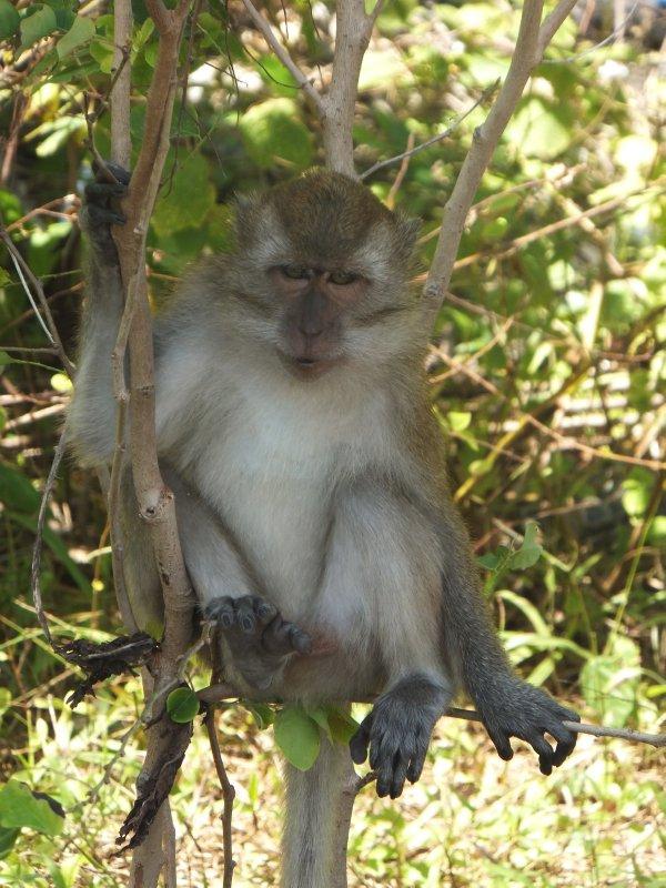 Monkey on Beras Besar Langkawi