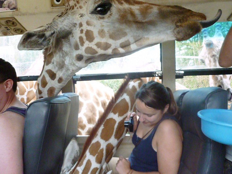 Safari Volunteer - Giraffe safari bus