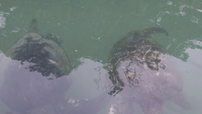 Green_Turtles.jpg