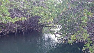 Mangrove_2.jpg