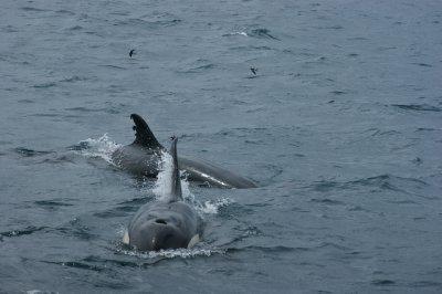 Orca_4.jpg