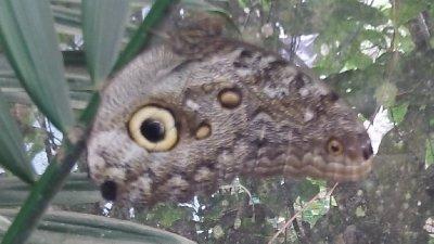 Owl_Butterfly.jpg