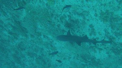 White_Tipped_Shark.jpg