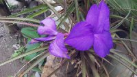 Purple_Orchid.jpg