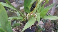 Spider_Orchid.jpg