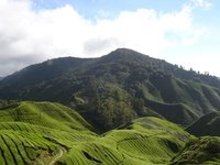 Tea plantation and Mountains