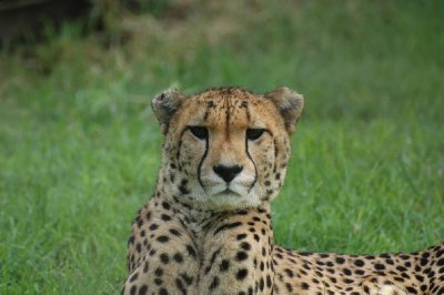 Cheetah