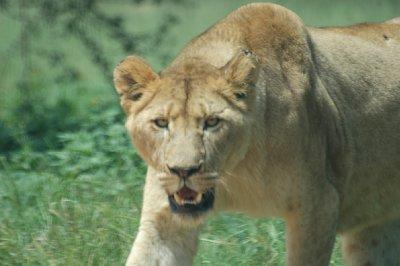 Stalking Lioness