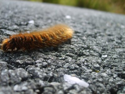 Caterpillar hiking across a road on a mountain
