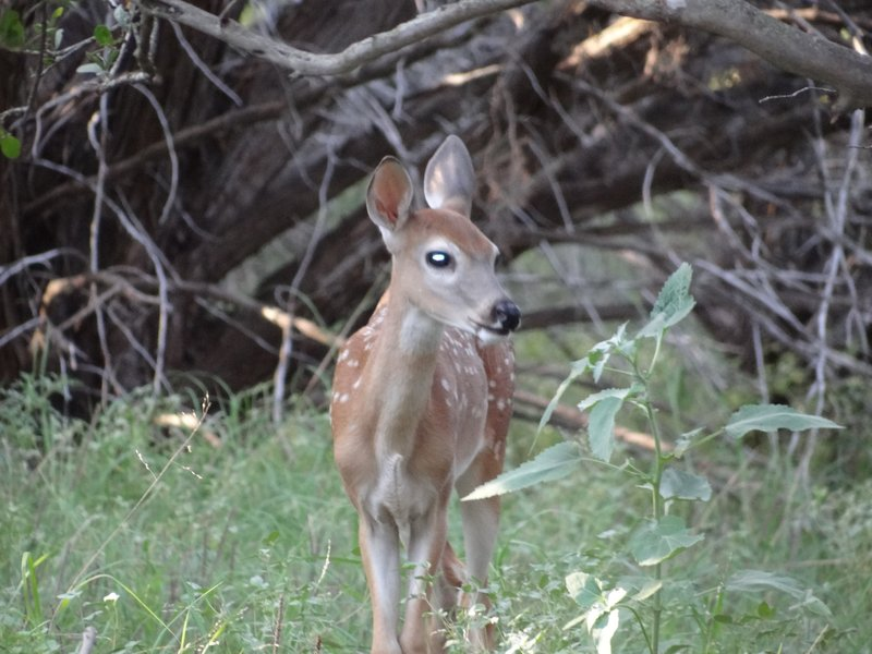 Fawn in the campsite