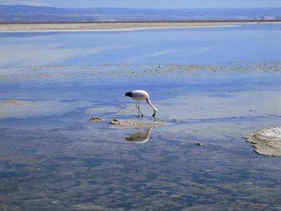 Flamingo in Salt Flats, Atacama