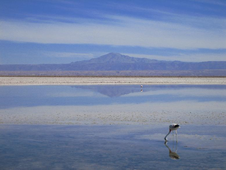 Flamingo in Salt Flats, Atacama