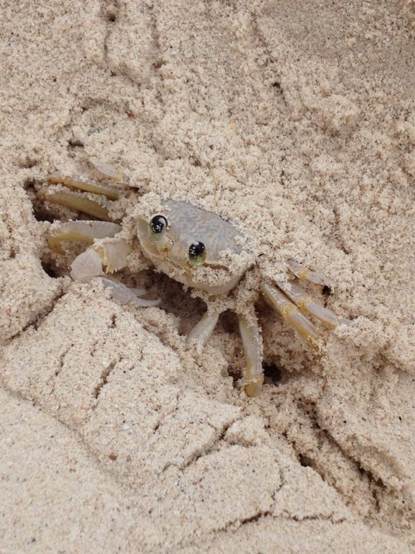 Kenepa Beach Crab