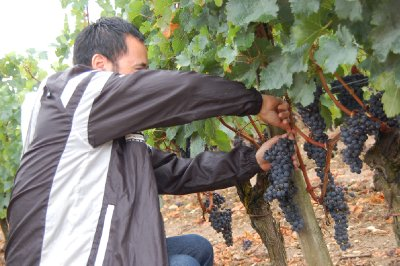 Steve helping with the harvest being done NEXT week