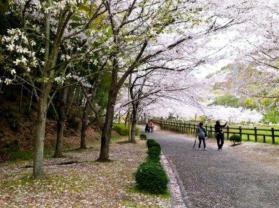 Takehara Sakura Matsuri In Bamboo