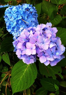 Colorful Hydrangea
