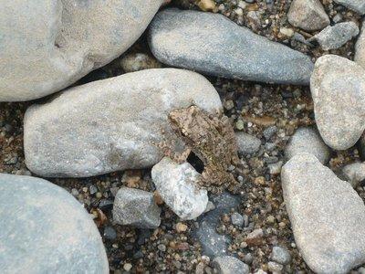 Froggie_in_Camo.jpg