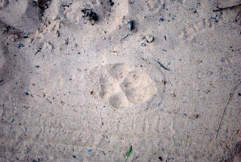 large_Puma_prints.jpg