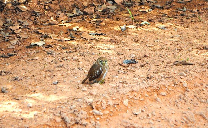 large_Pygmie_owl.jpg
