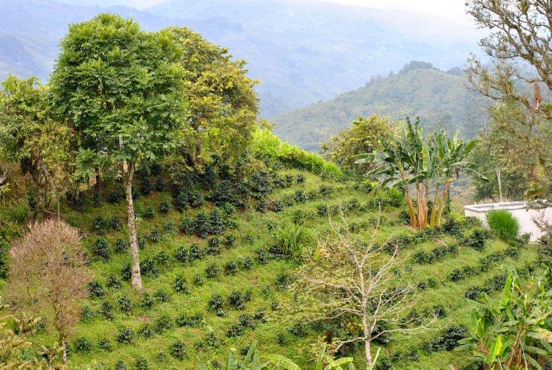 large_coffee_growing.jpg