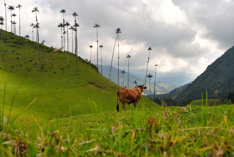 large_cow_shot.jpg