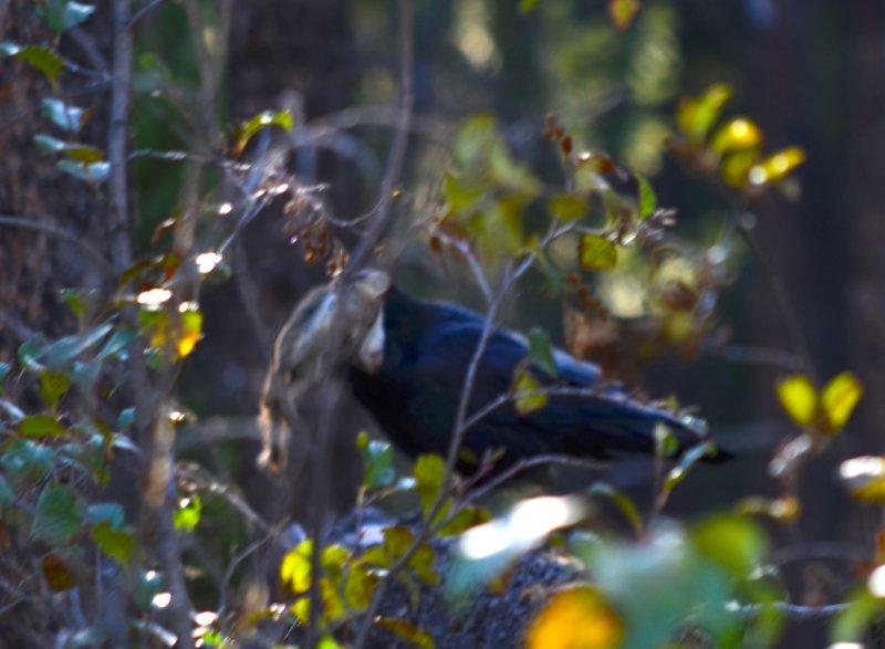 large_crow_eating_vole.jpg
