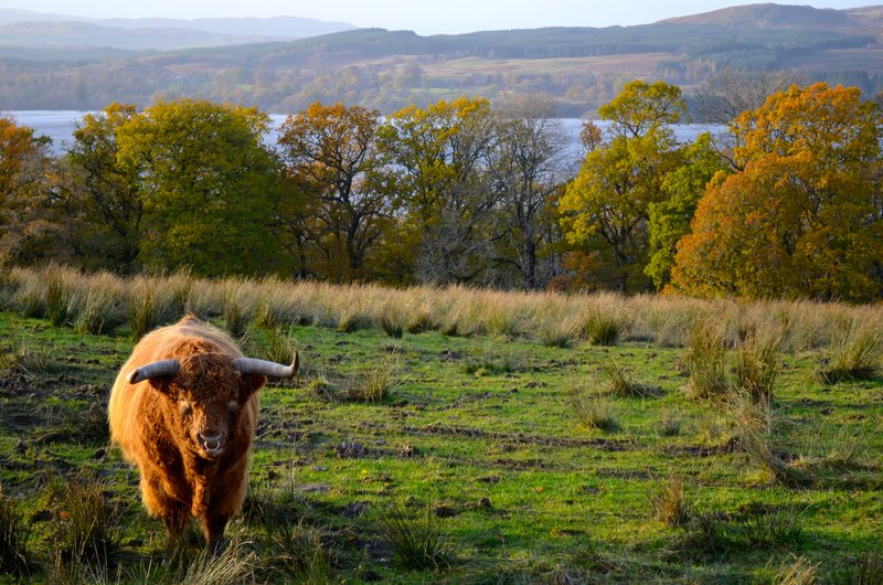 large_highland_cow.jpg