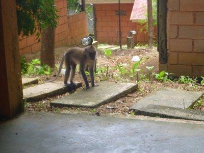 Monkey outside of my bungalow.