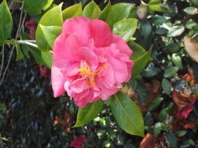 Camellias in February?