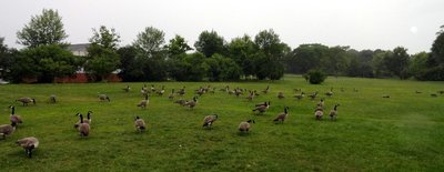 All the Canada Geese are in the USA 8-29-2014 8-05-52 AM