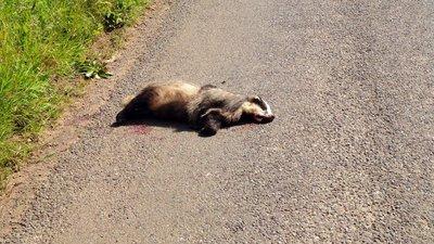 Beaten Badger